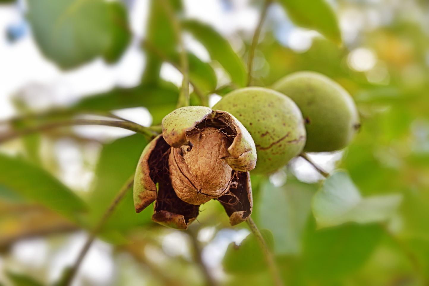 Enlever Brou De Noix Mains les producteurs de noix du périgord vous raconte l'histoire